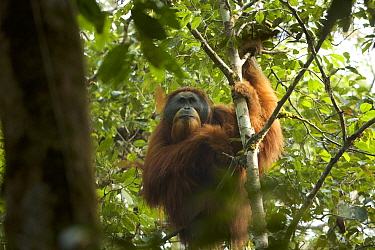 Tapanuli orangutan (Pongo tapanuliensis). 'Togus' adult flanged male. Batang Toru Forest, Sumatran Orangutan Conservation Project, Sumatra.