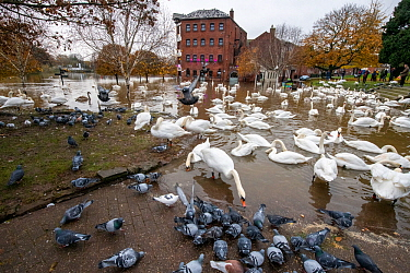 Flocks of Mute Swans (Cygnus olor) and Feral Pigeons (Columba livia) during 2019 floods, River Severn, Worcester, England.