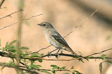 Eversmann's redstart (Phoenicurus erythronotus) female, Oman, February