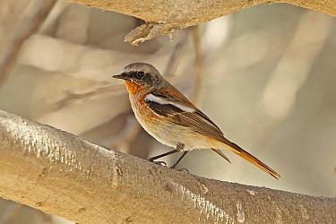 Eversmann's redstart (Phoenicurus erythronotus) male, Oman, February