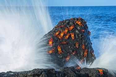 Sally lightfoot crabs (Grapsus grapsus) on rock with waves, Cape Douglas, Fernandina Island, Galapagos.