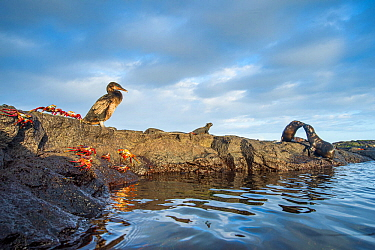 Wildlife on the coast of Cape Hammond including Galapagos flightless cormorant (Phalacrocorax harrisi), Sally lightfoot crab (Grapsus grapsus) and Marine iguana (Amblyrhynchus cristatus) Cape Hammond,...