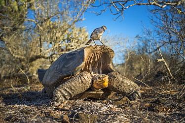 Epanola saddelback tortoise (Chelonoidis hoodensis), with Galapagos mockingbird (Mimus parvulus) perched on carapace, Espnola Island, Galapagos.