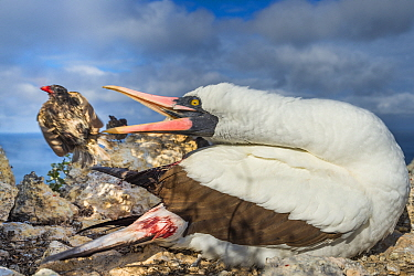 Nazca booby (Sula granti) biting at Vampire ground finch (Geospiza septentrionalis) which was feeding on its blood, Wolf Island, Galapagos.
