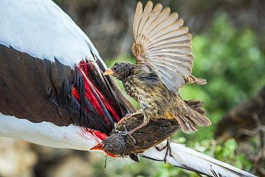 Vampire ground finch (Geospiza septentrionalis) feeding on Nazca booby (Sula granti) blood. Wolf Island, Galapagos.