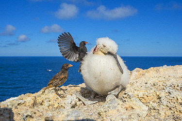 Vampire ground finch (Geospiza septentrionalis) attacking large chick to drink blood, after it was wounded by aggressive adult booby, Wolf Island, Galapagos.