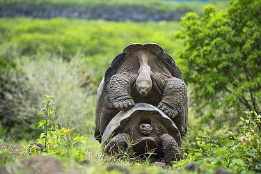 Alcedo giant tortoise (Chelonoidis vandenburghi) pair mating, Alcedo Volcano, Isabela Island, Galapagos.