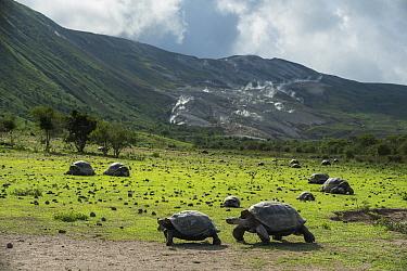 Alcedo giant tortoise (Chelonoidis vandenburghi) and volcanic habitat with fumeroles, Alcedo Volcano, Isabela Island, Galapagos.