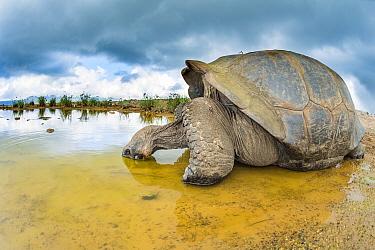 Alcedo giant tortoise (Chelonoidis vandenburghi) drinking, Alcedo Volcano, Isabela Island, Galapagos.
