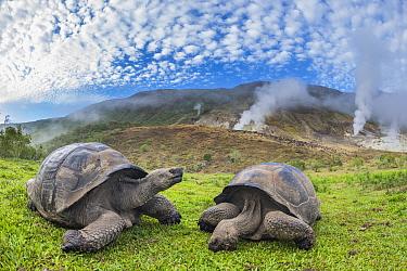 Alcedo giant tortoises (Chelonoidis vandenburghi) and volcanic landscape with fumeroles, Alcedo Volcano, Isabela Island, Galapagos.