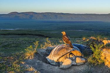Galapagos hawk (Buteo galapagoensis) perched on Galapagos giant tortoise (Chelonoidis vandenburghi) Alcedo Volcano, Isabela Island, Galapagos..
