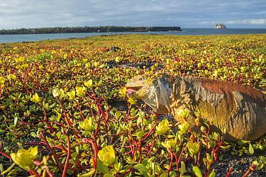 Galapagos land iguana (Conolophus subcristatus) feeding on coastal Portulaca plants, Plazas Island, Galapagos.