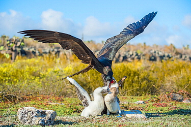 Magnificent frigatebird (Fregata magnificens) attacking Blue footed booby (Sula nebouxii) feeding chick. This bird is trying to steal the food from the parent. Santa Cruz Island, Galapagos.