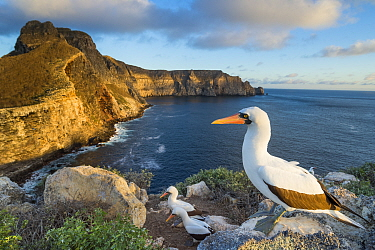 Nazca booby (Sula granti) on the coast of Wolf   Island, Galapagos.