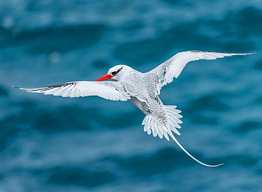 Red-billed tropicbird (Phaethon aethereus) in flight, Plazas Island, Galapagos.