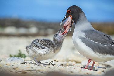 Swallow-tailed gull (Creagrus furcatus) feeding chick, Genovesa Island, Galapagos.