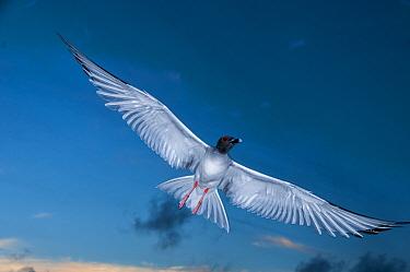 Swallow-tailed gull (Creagrus furcatus) in flight, Punta Cevallos, Espanola Island, Galapagos.