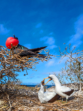 Great frigatebird (Fregata minor) in tree with pair of Nazca boobies (Sula granti) showing mating behaviour, Genovesa Island, Galapagos,