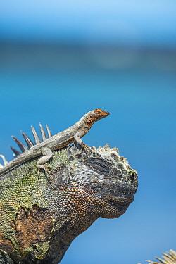 Galapagos lava lizard (Microlophus albemarlensis) on head of Marine iguana (Amblyrhynchus cristatus) Punta Espinosa, Fernandina Island, Galapagos,
