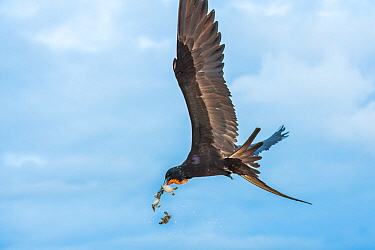 Magnificent frigatebird (Fregata magnificens) in flight, with beakful of hatchling sea turtles, with some dropping out of beak. Las Bachas, Santa Cruz Island, Galapagos,