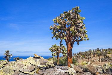 Santa Fe land iguana (Conolophus pallidus) next to Tree Prickly pear (Opuntia echios) Santa Fe Island, Galapagos,