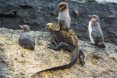 Galapagos penguins (Spheniscus mendiculus) with one sitting on a Marine iguana (Amblyrhynchus cristatus) Punta Moreno, Isabela Island, Galapagos,