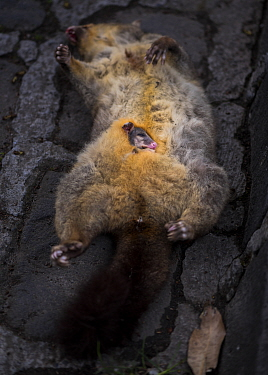 Brushtail possum (Trichosurus vulpecula) female found dead on the side of the road. It had probably been hit by a car and someone had moved it off the road. It still had a live joey in its pouch when...