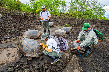 Park wardens recording the size and sex of each tortoise they encounter, and reading the tiny electronic tags implanted under the skin of their hind leg to check against a list of genetically desirabl...