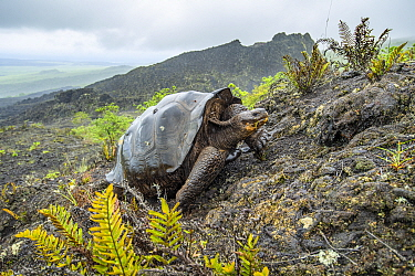 Wolf giant tortoise (Chelonoidis becki) in habitat. Hybrids of mixed parentage with different shell shapes are scattered far and wide on the rugged west slope of Wolf Volcano. Wolf Volcano, Isabela Is...