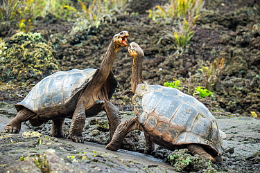 Wolf giant tortoise (Chelonoidis becki) aggressive displays, settled by he who can reach highest. This often giving the advantage to the more saddlebacked shaped individual, even if overall smaller. W...