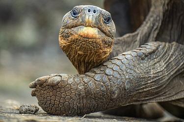 Wolf giant tortoise (Chelonoidis becki) resting, Wolf Volcano, Isabela Island, Galapagos
