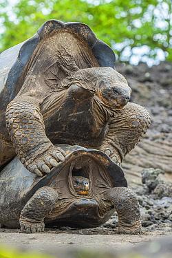 Wolf giant tortoise (Chelonoidis becki) pair mating, Wolf Volcano, Isabela Island, Galapagos