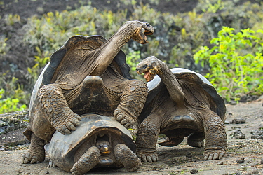 Wolf giant tortoise (Chelonoidis becki) two males fight briefly over mating rights. Wolf Volcano, Isabela Island, Galapagos