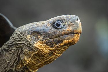 Wolf giant tortoise (Chelonoidis becki) portrait, Wolf Volcano, Isabela Island, Galapagos