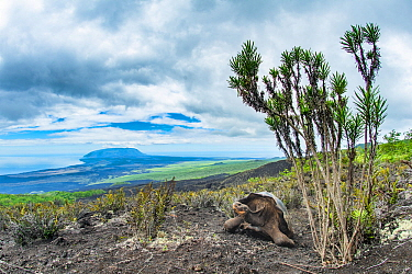 Wolf giant tortoise (Chelonoidis becki). Hybrids of mixed parentage with different shell shapes are scattered far and wide on the rugged west slope of Wolf Volcano. Wolf Volcano, Isabela Island, Galap...
