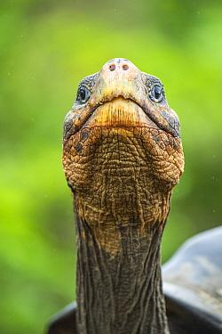 Wolf giant tortoise (Chelonoidis becki) portrait. Wolf Volcano, Isabela Island, Galapagos