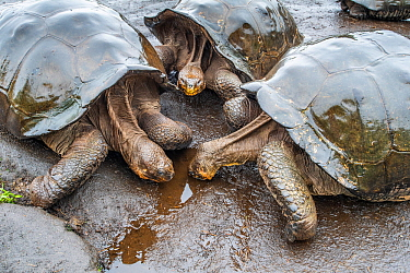 Wolf giant tortoise (Chelonoidis becki) group drinking from small puddles formed by fine drizzle. Wolf Volcano, Isabela Island, Galapagos