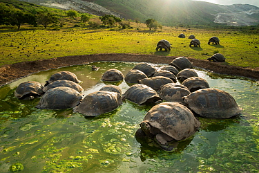 Alcedo giant tortoises (Chelonoidis vandenburghi) wallowing, Alcedo Volcano, Isabela Island. This is where the largest population still exists, acting as ecosystem engineers by maintaining open meadow...
