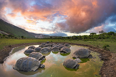 Alcedo giant tortoise (Chelonoidis vandenburghi), Alcedo Volcano, Isabela Island. This is where the largest extant population exists, acting as ecosystem engineers by maintaining open meadows and digg...