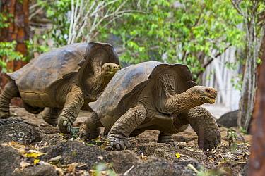Floreana giant tortoise (Chelonoidis elephantopus) hybrid descendant male and female hybrid at the Fausto Llerena Tortoise Breeding Centre for the purpose of repopulating Floreana Island. This species...