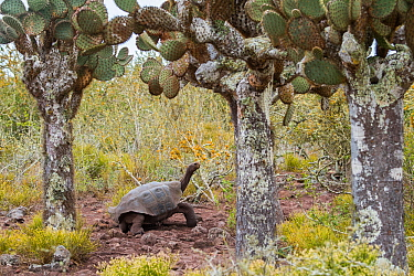 Pinzon giant tortoise (Chelonoidis duncanensis), saddleback type typical of arid island, their long necks and raised shell allowing them to browse on cacti. Captive-raised as hatchlings to protect the...