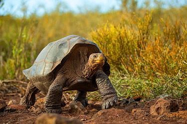 Pinzon giant tortoise (Chelonoidis duncanensis). Captive-raised as hatchlings to protect them from introduced black rats, adults have started breeding naturally again since rats were eradicated in 201...