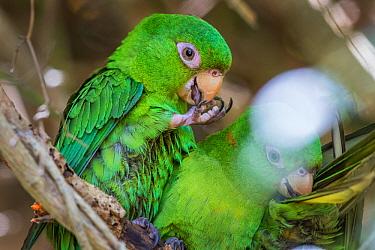 DELETE Cuban parakeet (Psittacara euops) preening claw, Bermejas, Cuba. Endemic.
