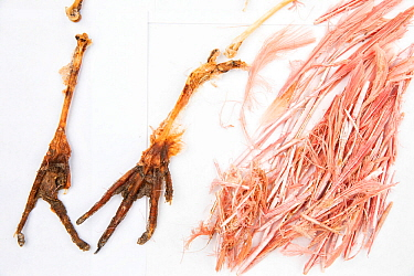 Stomach contents of invasive Burmese pythons (Python bivittatus) are separated and laid out on sheets in order to identify them. Some of the contents seen here are the feet and feathers of a Roseate s...