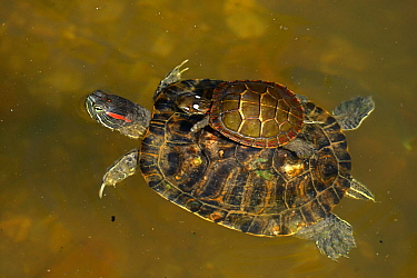 Red-eared slider (Trachemys scripta elegans), and Painted turtle (Chrysemys picta) on back, Maryland, USA, August.