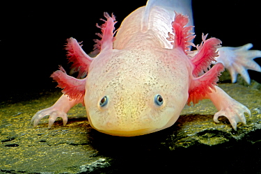 Axolotl (Ambystoma mexicanum), white or leucistic form, neotenic salamander. Captive, critically endangered in the wild, occurs in Mexico.