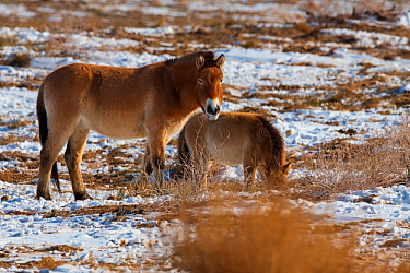 Przewalski's horse (Equus przewalskii) with foal, Kalamaili National Nature Reserve, Xinjiang, China. These individuals rounded up into a feeding enclosure during winter, for reasons of increased...