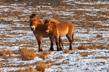 Przewalski's horse (Equus przewalskii) two standing together Kalamaili National Nature Reserve, Xinjiang, China. These individuals rounded up into a feeding enclosure during winter, for reasons of...