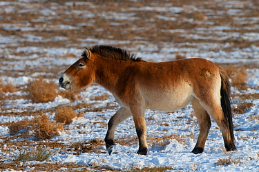Przewalski's horse (Equus przewalskii) Kalamaili National Nature Reserve, Xinjiang, China. These individuals rounded up into a feeding enclosure during winter, for reasons of increased survival po...