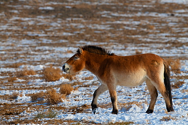 Przewalski's horse (Equus przewalskii), Kalamaili National Nature Reserve, Xinjiang, China. These individuals rounded up into a feeding enclosure during winter, for reasons of increased survival p...